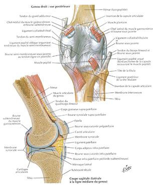 genou-anatomie-3