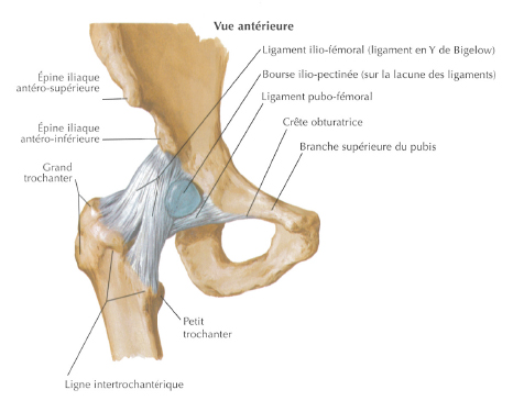hanche-anatomie-1