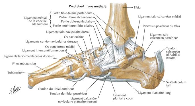 cheville-anatomie1